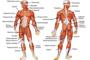 human-body-muscles-chart